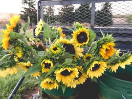 Bucket Full of Sunflowers