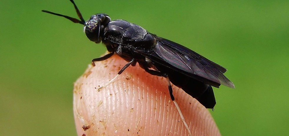 The Black Soldier Fly
