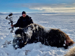Muskox with bow