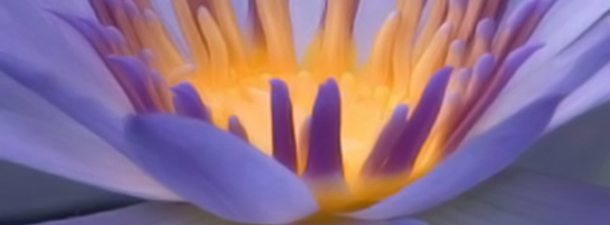 lotus cover photo.png