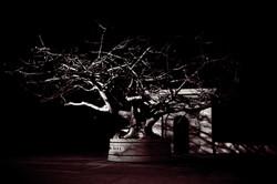 Balboa Park Tree 1 copy