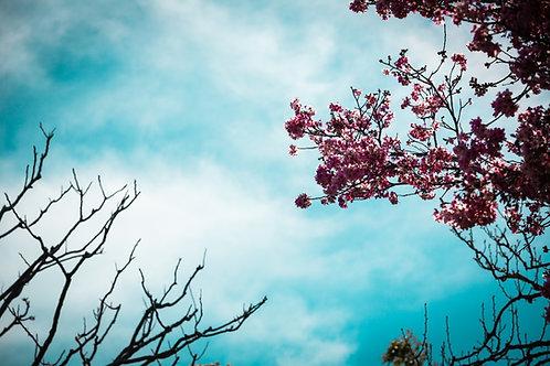 Cherry Blossoms in Balboa 2019 Print - 8 X 12