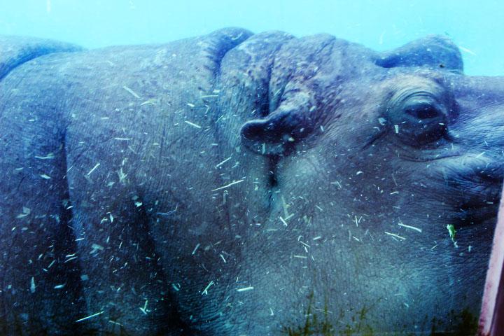 Hippo SD Zoo 2015.jpg