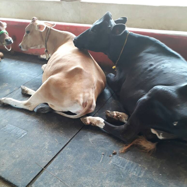 Cow Comforts rubber mats