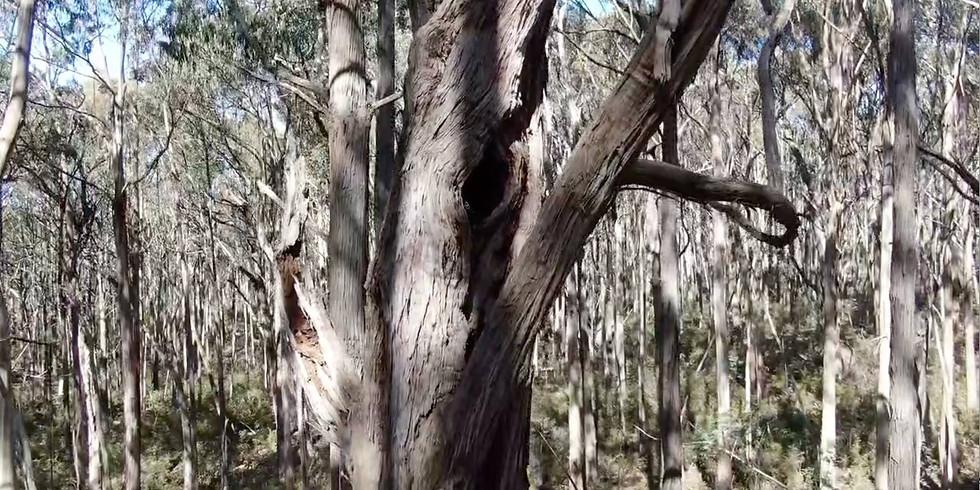 Tallarook Forest: Hollow tree survey