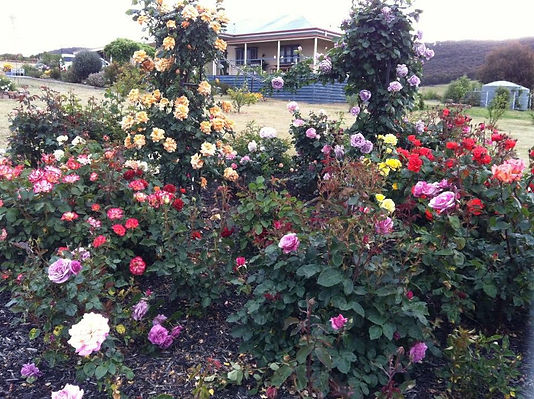 The Pyalong Netball Club are holding an Open Garden Weekend at the scenic Allenbee Fields in Tooborac. With a mixture of perennials, natives, annuals, bulbs, fruit, vegetables, succulents and roses, all spread across a 2 acre garden, with food and plants to purchase, this hidden gem is a colourful delight.