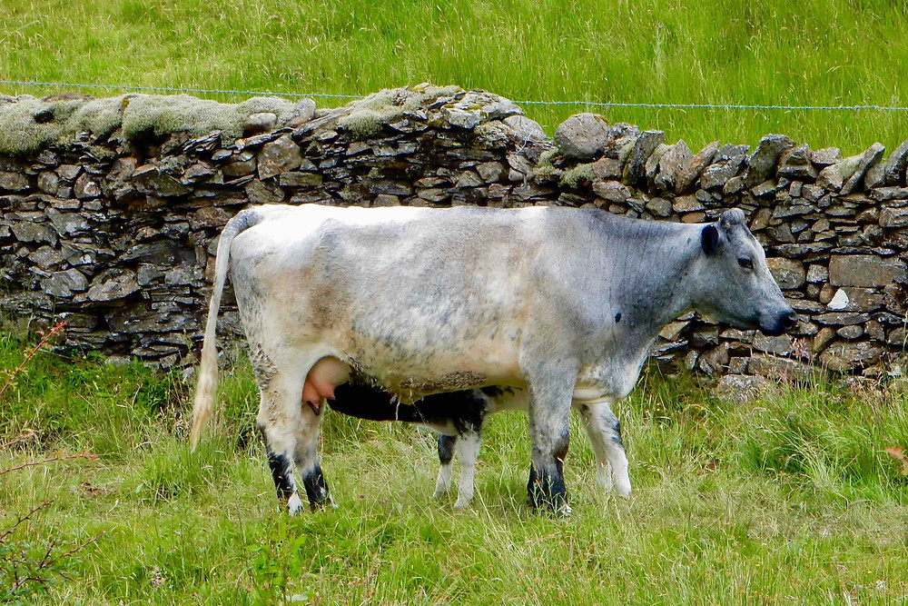 Albion cow and calf photographed at High Lickbarrow farm near Windermere