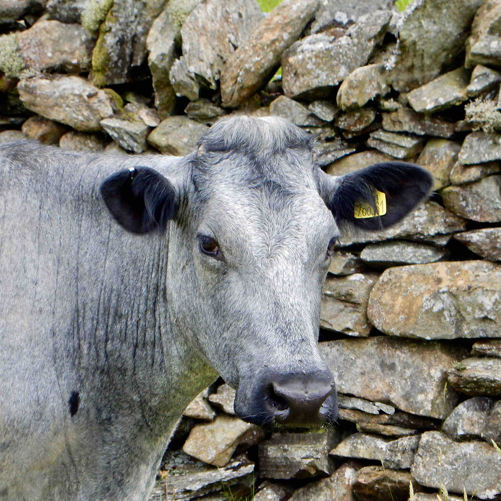 Albion cow photographed at High Lickbarrow Farm near Windermere