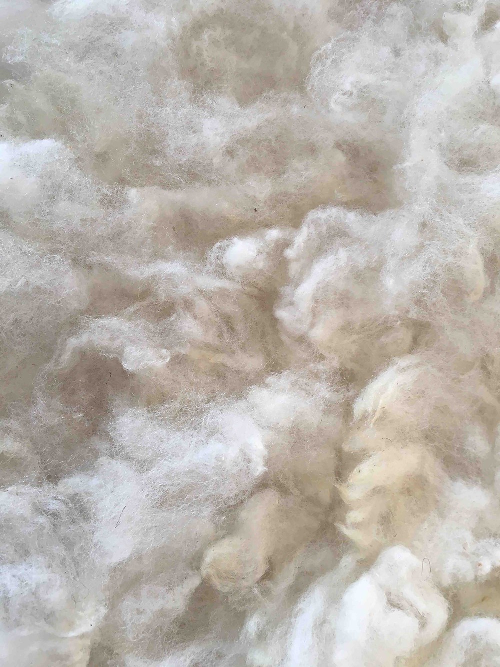 Charollais are a French meat breed but owing to their Leicester Longwool heritage, have surprisingly fine wool.