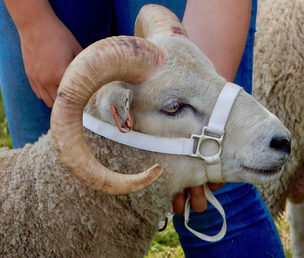 Shetland ram, photographed in Cumbria