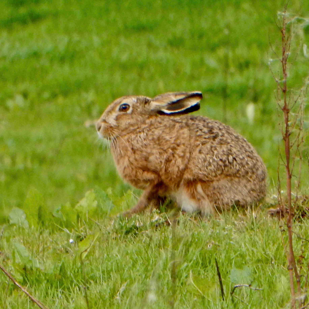 Hare photographed over the garden wall