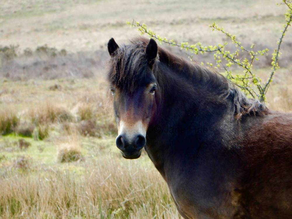 "Exmoor pony with its distinctive ""mealy"" markings"
