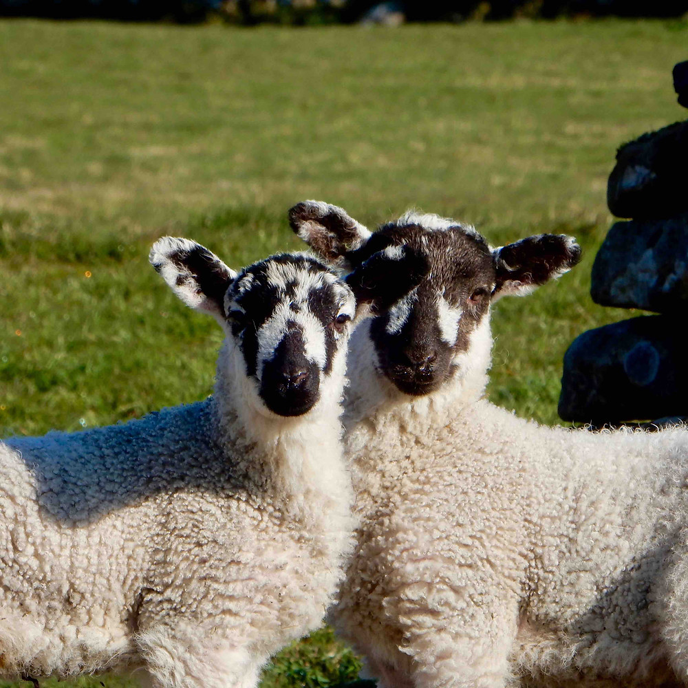 North Country Mule lambs with their striking facial markings
