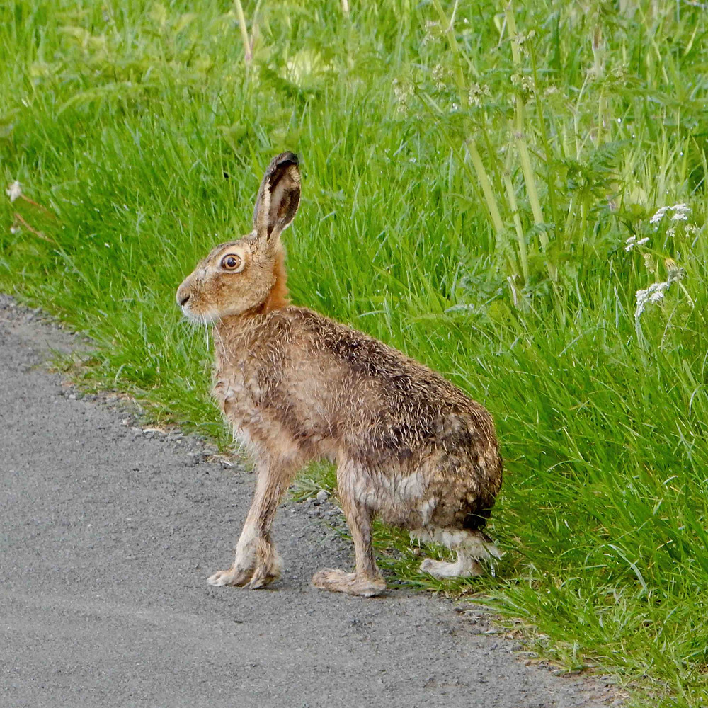 Hare photographed beside a grass verge, Ullswater valley