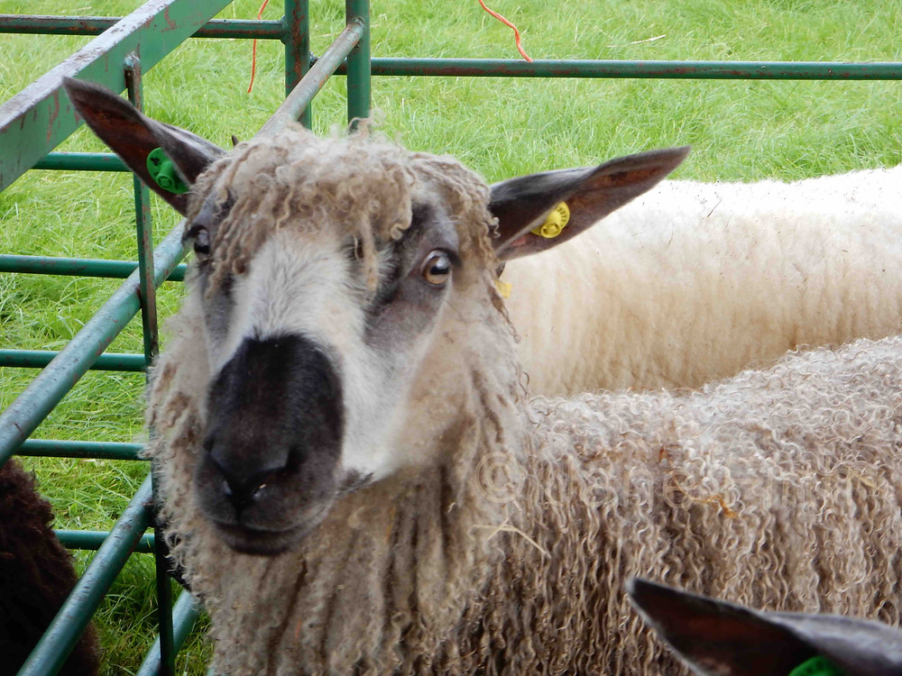 Teeswater sheep with its beautiful lustrous curly locks