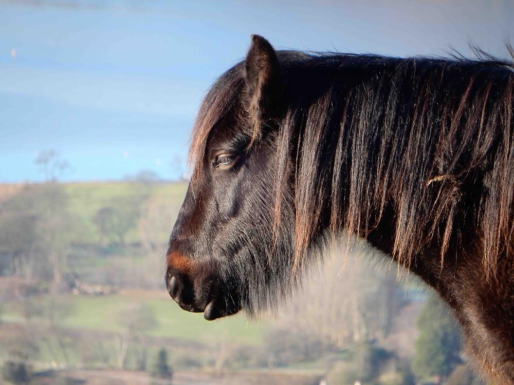 Fell pony on Heughscar, above Ullswater