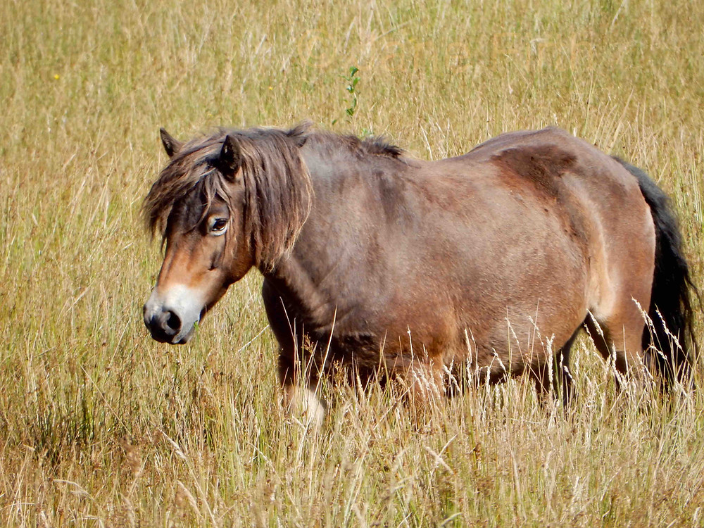 A Cumbrian Exmoor pony used for conservation grazing