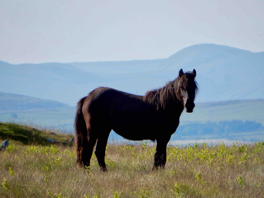 Fell pony photographed in the Ullswater valley