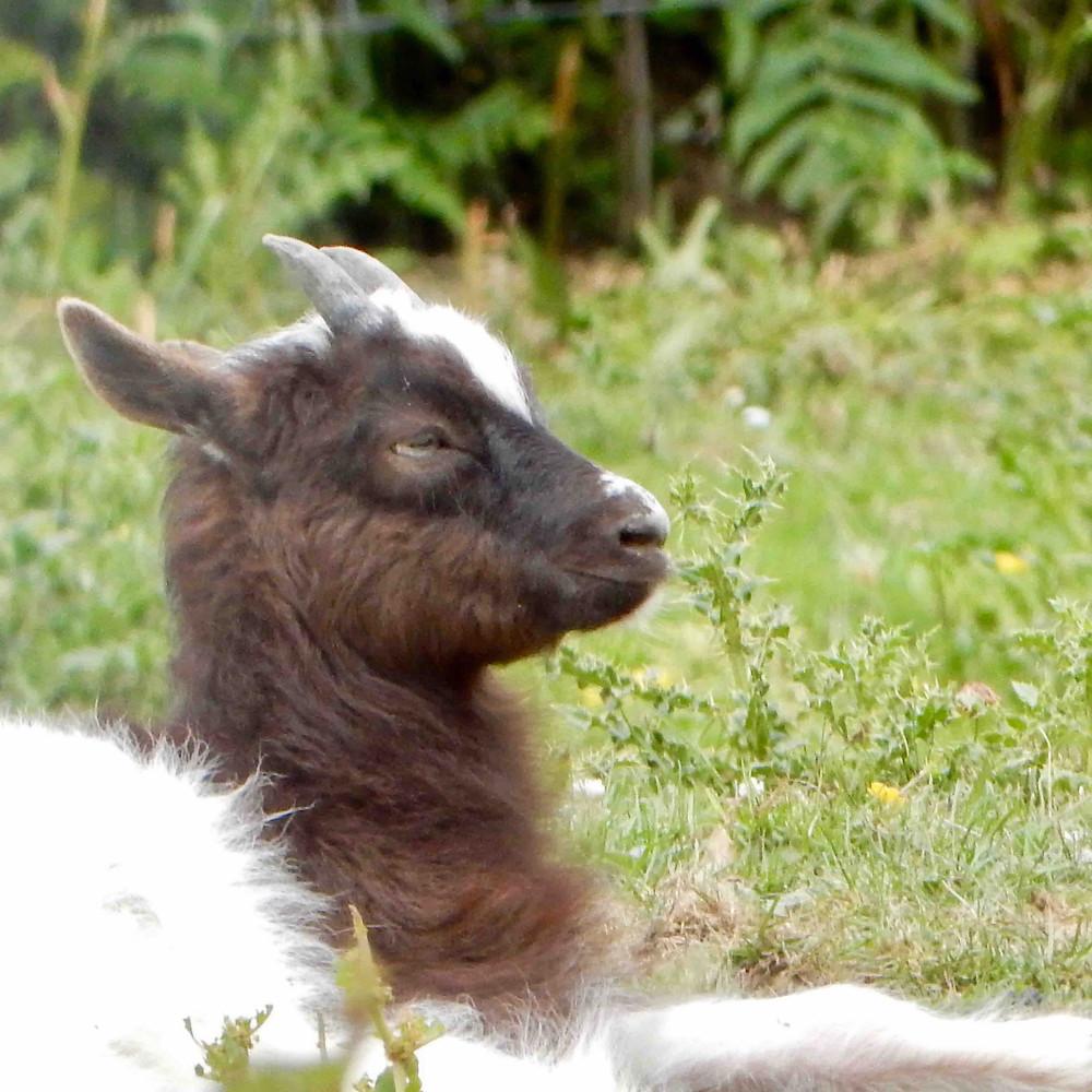 Bagot kid photographed at the Lake District Wildlife Park