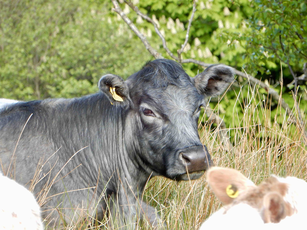 Blue Grey cow photographed in the Ullswater valley