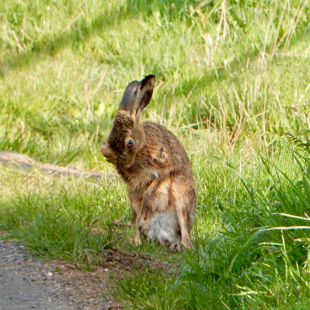 Hare grooming on a grass verge