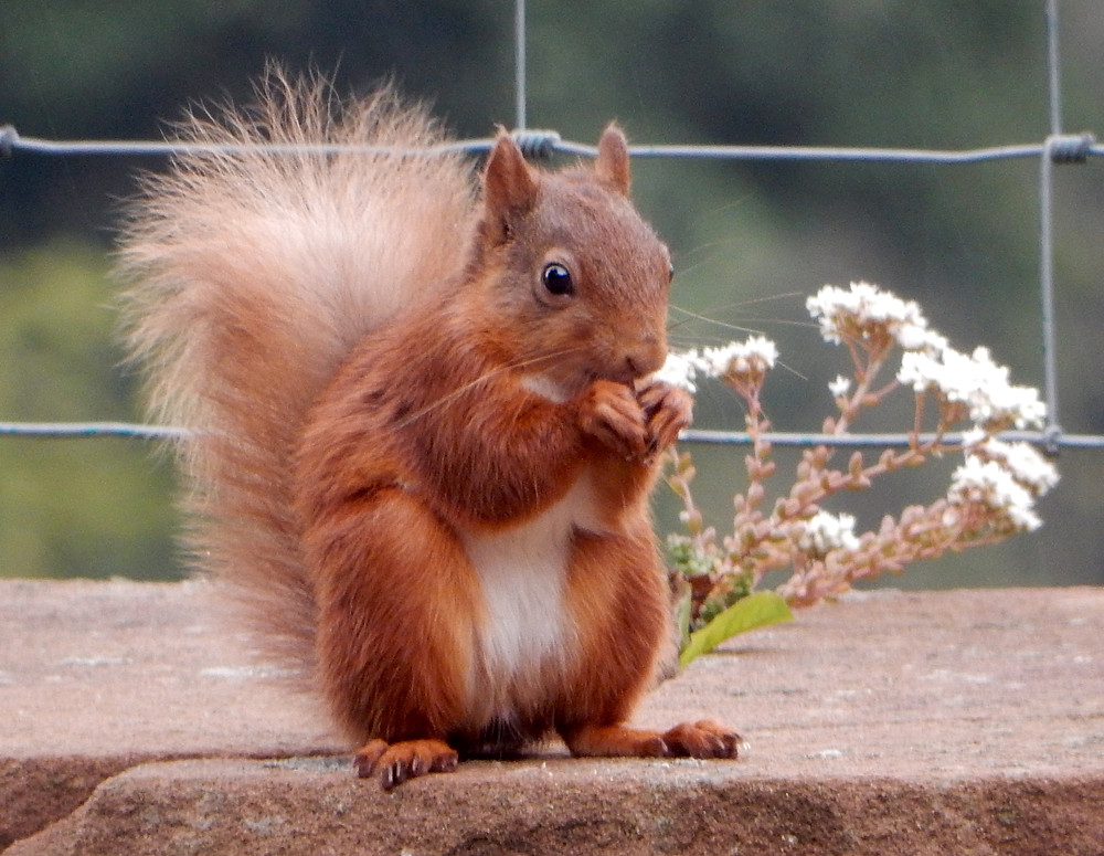 Red squirrel sitting up
