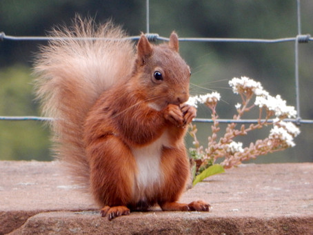 Red squirrels in the Lake District