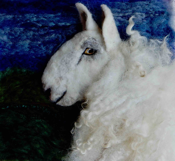 North Country Cheviot sheep portrait
