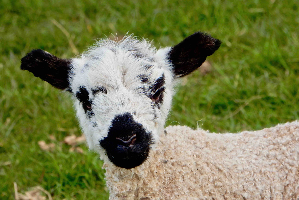 North Country Mule lamb photographed in the Ullswater valley