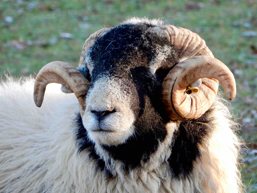 Swaledale ram photographed in the Ullswater valley