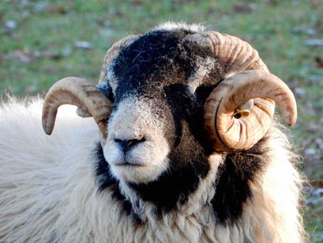 Swaledale sheep and the sheep breeding pyramid