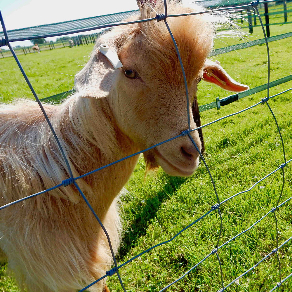 Golden Guernsey nanny goat used as a model