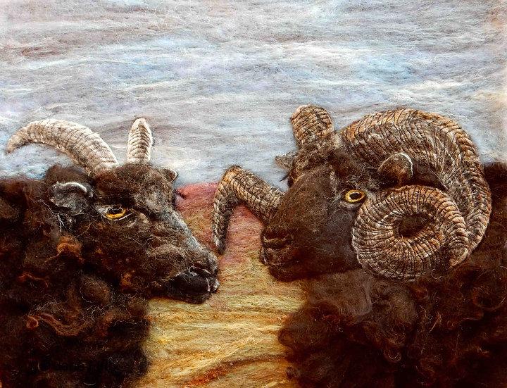 Hebridean sheep portraits