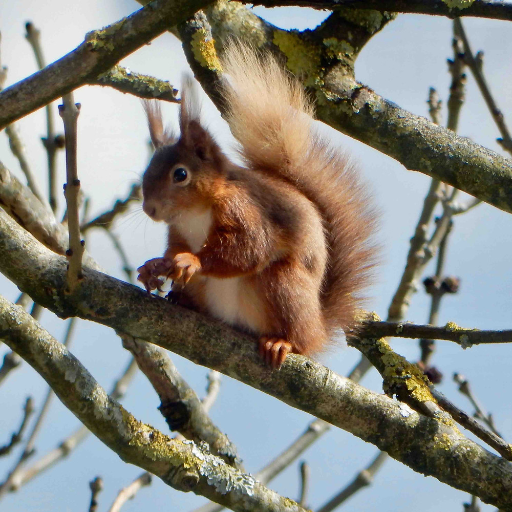 Red squirrel in an Ash tree