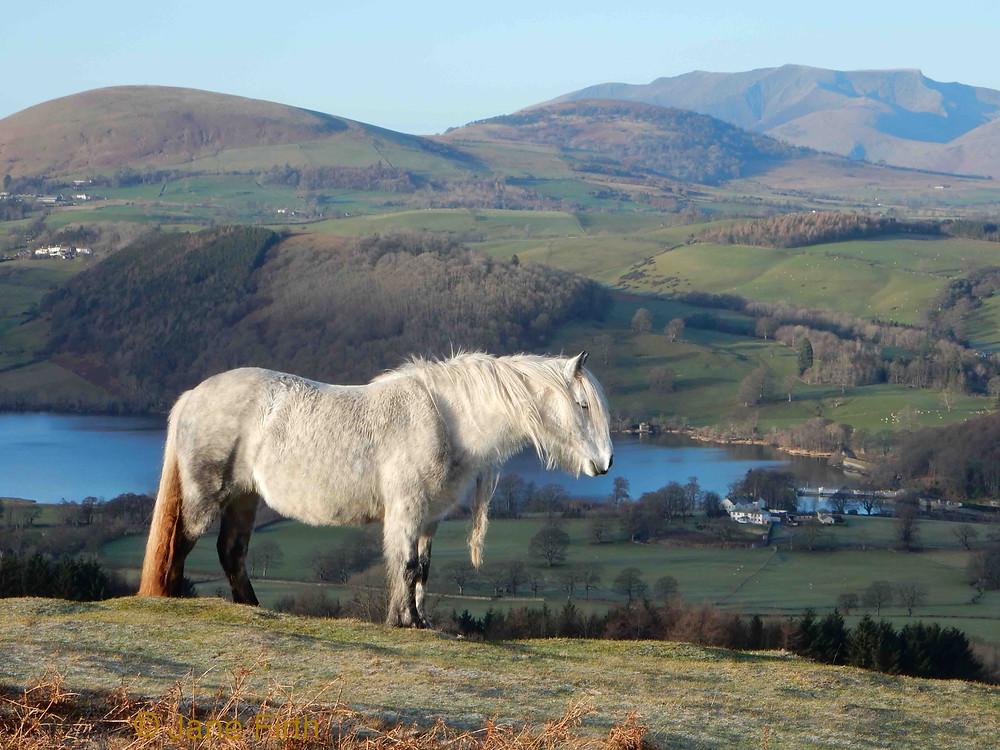 Fell pony on Heughscar above Ullswater