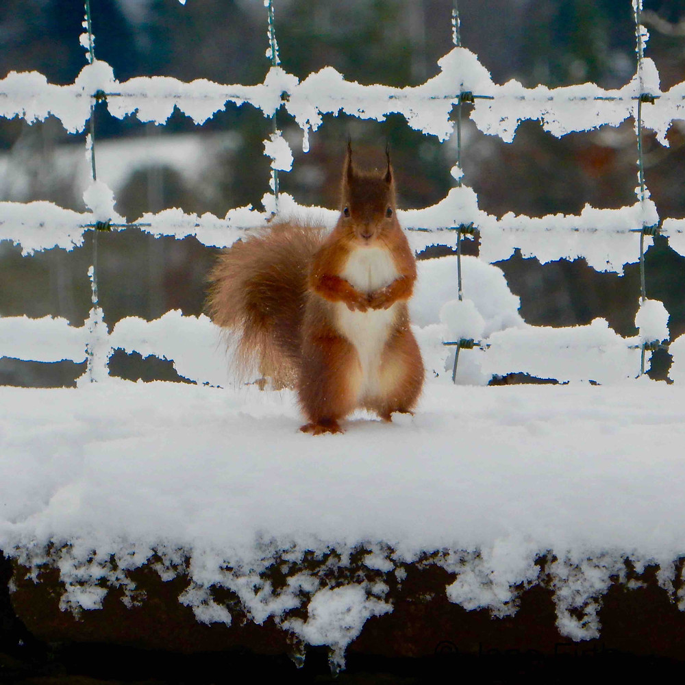 Red squirrel in the snow. Weather does not seem to bother them.