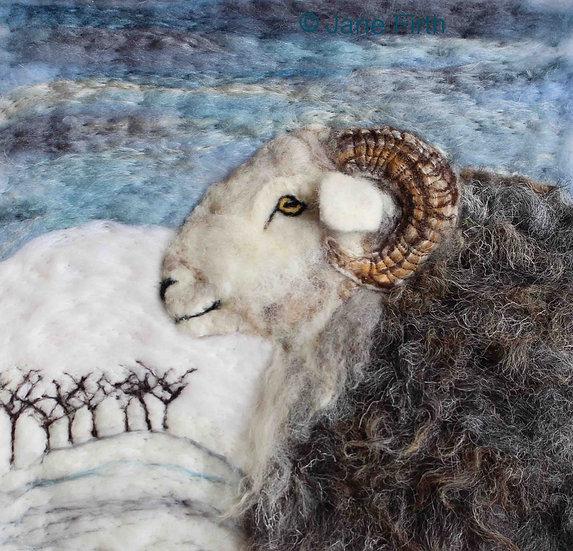 Winter Herdwick ram
