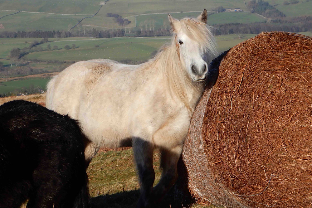 Fell pony using a bracken bale as a scratching post, Ullswater