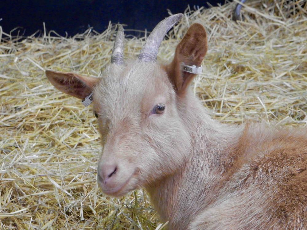 Golden Guernsey Goat, Cotswold Farm Park