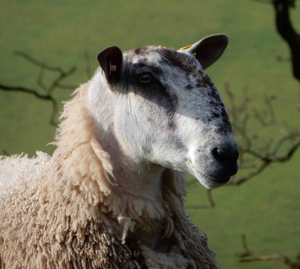 Bluefaced Leicester ram, photographed in the Ullswater valley