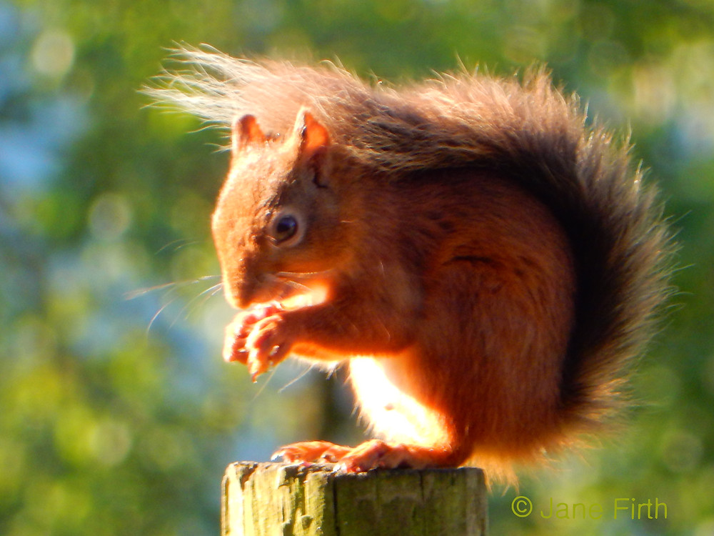 """Dark-tailed red squirrel in classic """"shade tail"""" pose"""