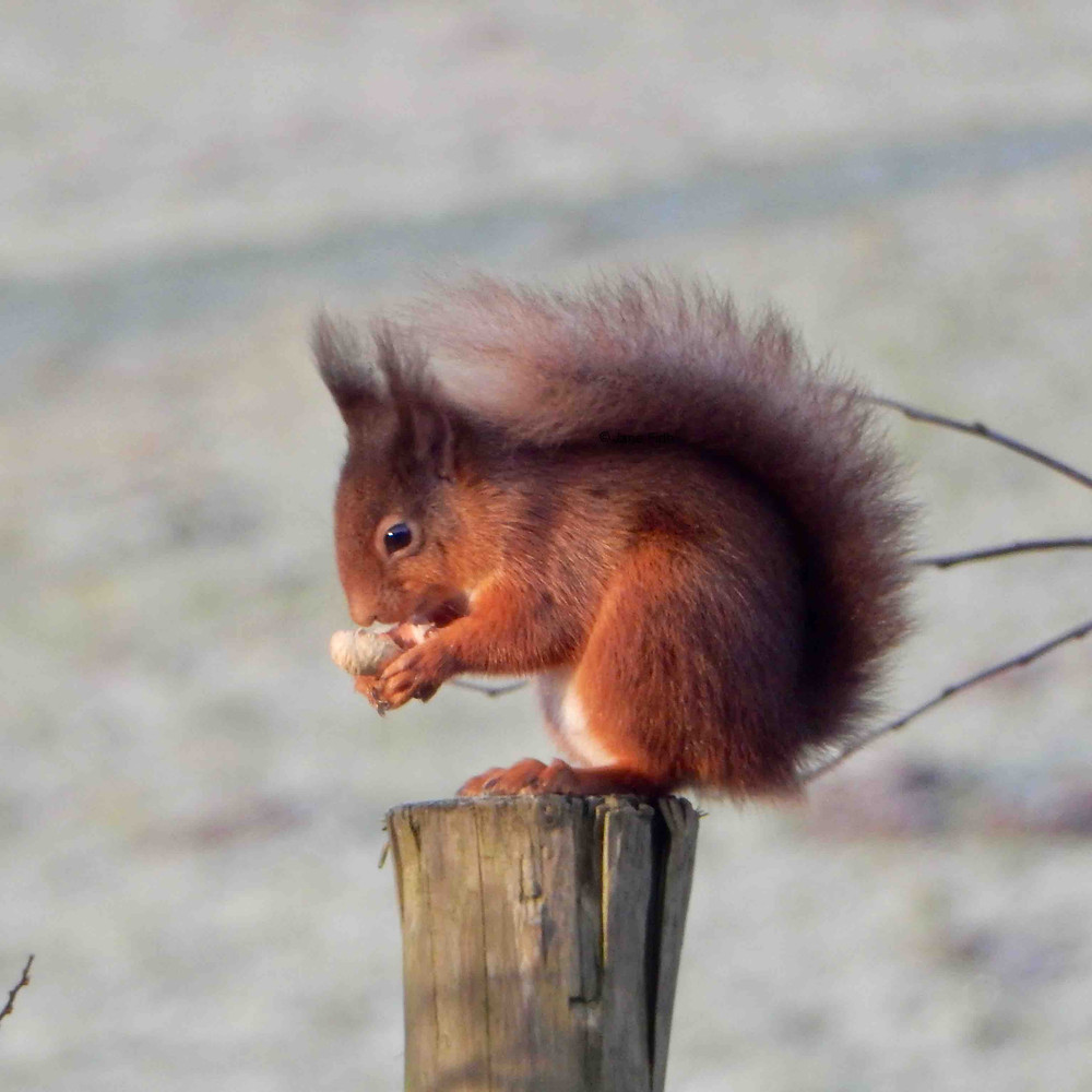 """Young red squirrel with a dark, fluffy coat in classic """"shade tail"""" pose"""