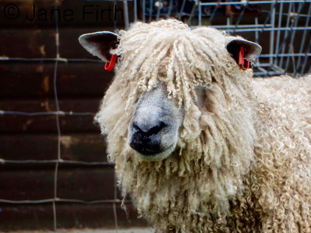 Wensleydale ewe with curly lustrous locks