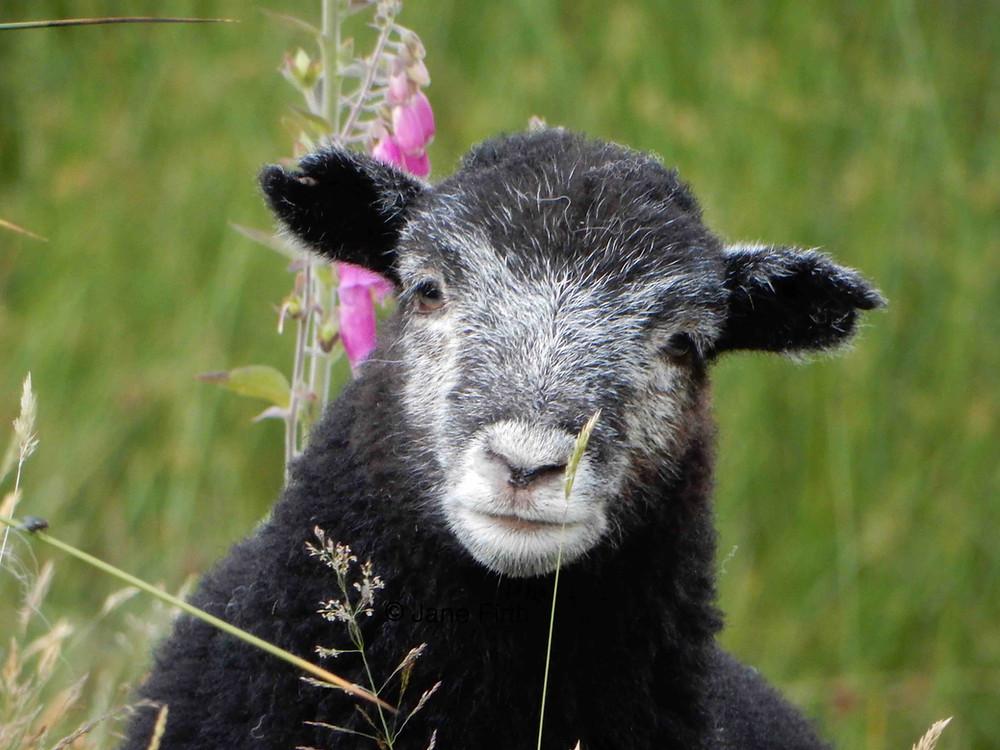 Herdwick lamb acquiring his white face