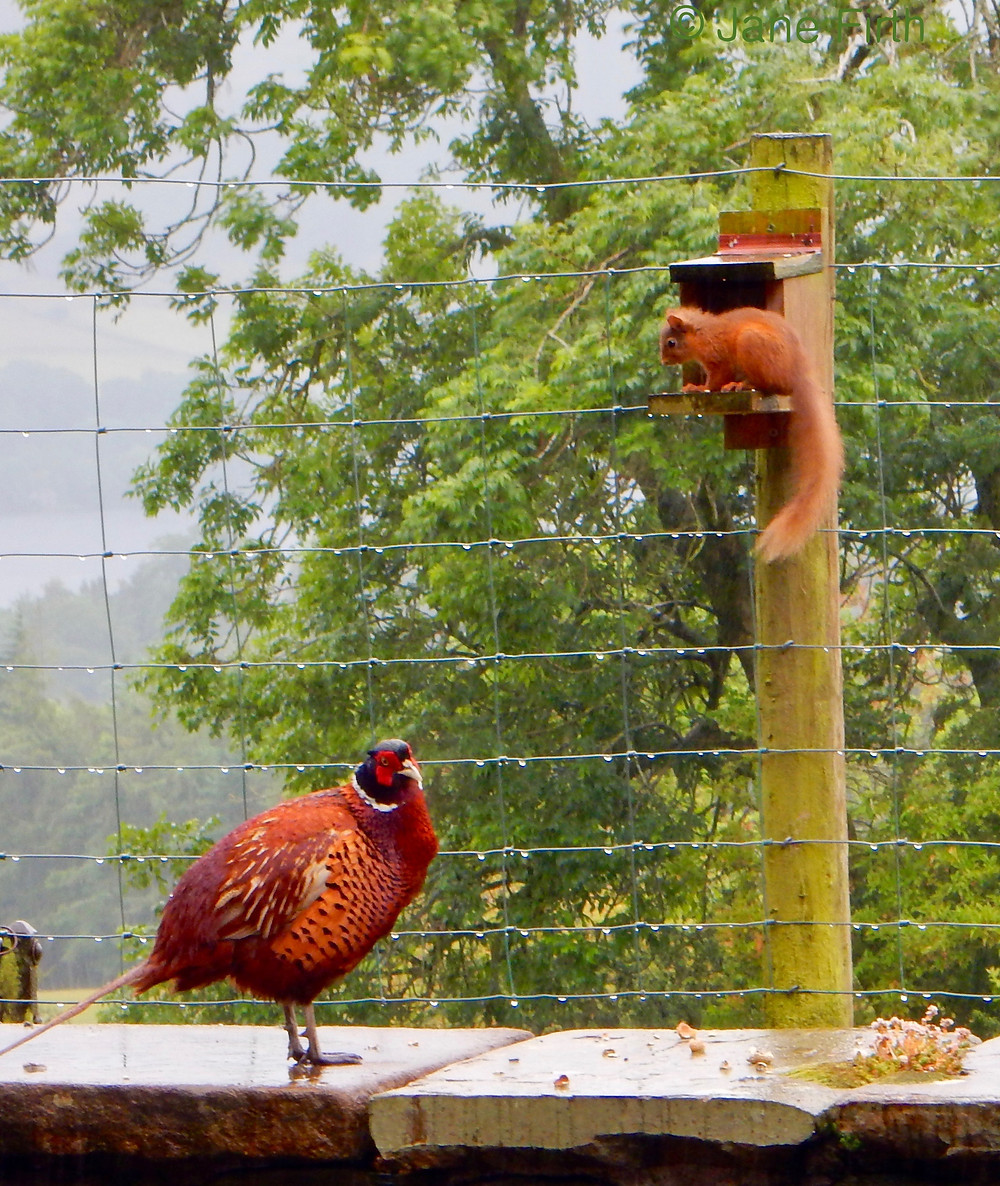 A pheasant intimidating a young squirrel on the squirrel feeder