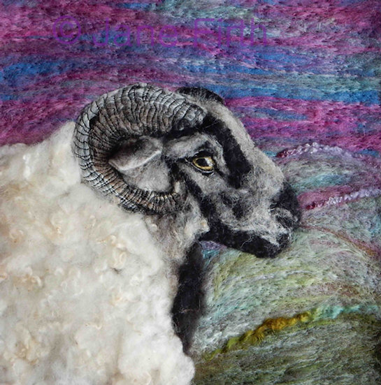 Badgerface Welsh Mountain sheep portrait
