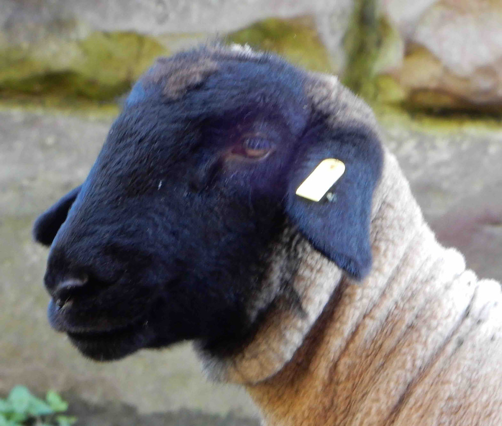 Suffolk sheep photographed in the Eden valley, Cumbria