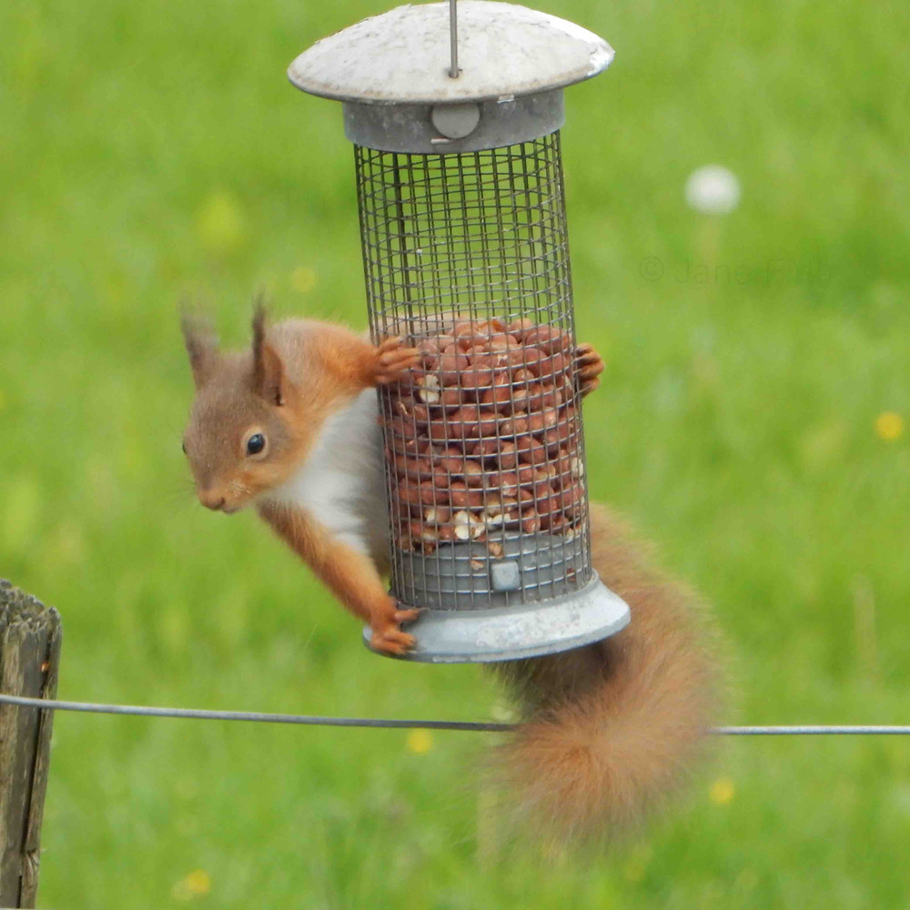 Young red squirrel on the bird peanuts