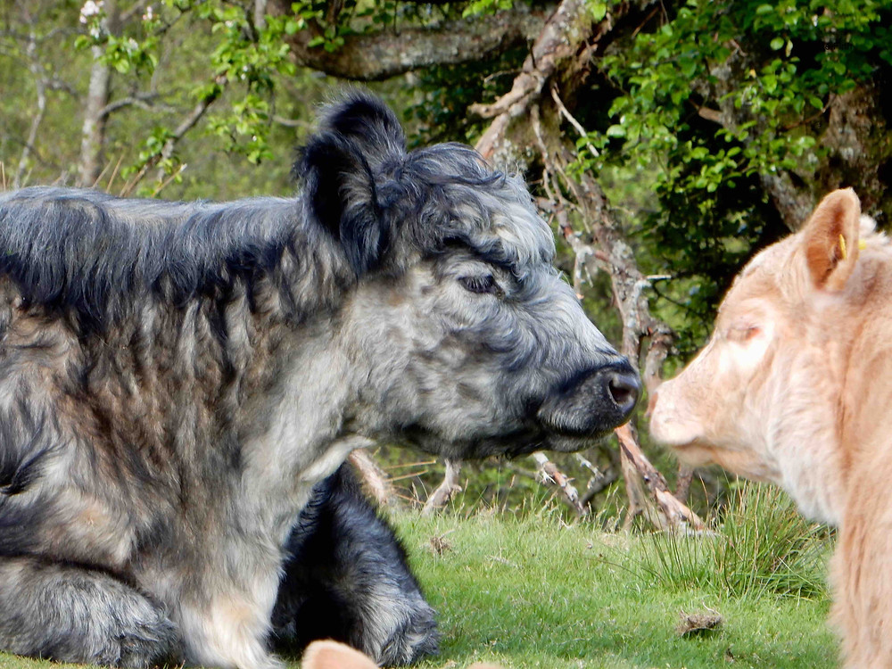 Blue Grey cow and calf photographed in the Ullswater valley