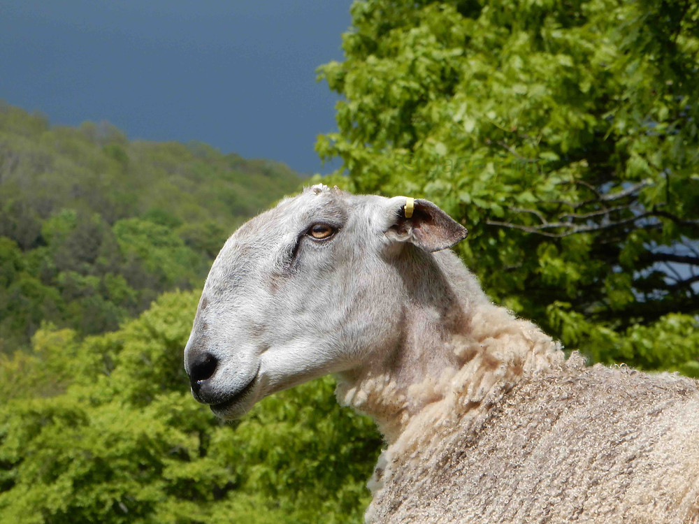 Traditional Bluefaced leicester ram with a blue-grey face and distinctive roman nose